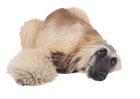 afghan hound on white background photo
