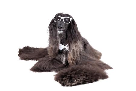 hounds: Avganskaya greyhound on white background with glasses