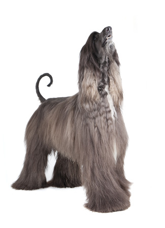 afghan hound on white background photo