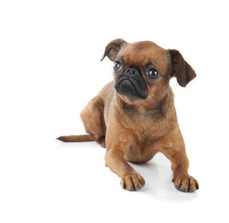 brussels griffon: Petit brabancon on the white background Stock Photo