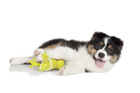 Australian Shepherd puppy on white background photo