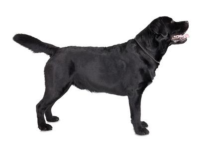 black labrador: lobrador on a black background