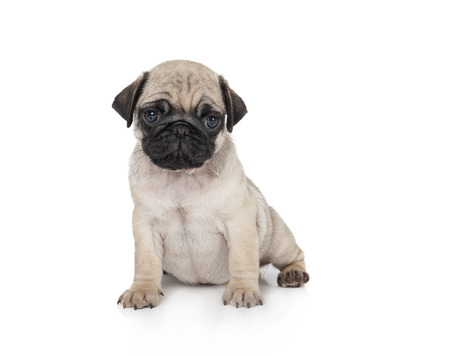 cute pug puppy on a white background