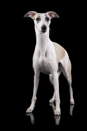 miniature breed: el whippet sobre un fondo negro Foto de archivo