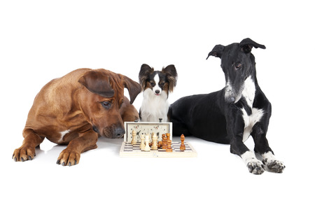 Dog playing chess photo