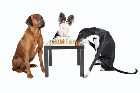 three dogs playing chess photo