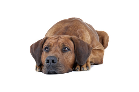 rhodesian: Rhodesian Ridgeback dog breed is sitting on a white background