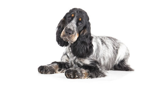 English cocker spaniel on a white background photo