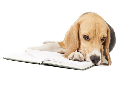 Beagle is reading a book photo