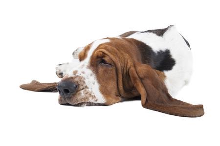 흰색 배경에 거짓말 바셋 하운드 개