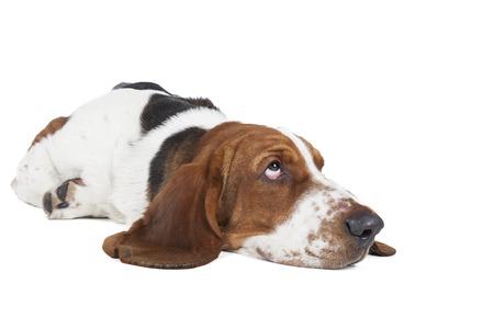 adopt: Basset hound dog lying on a white background