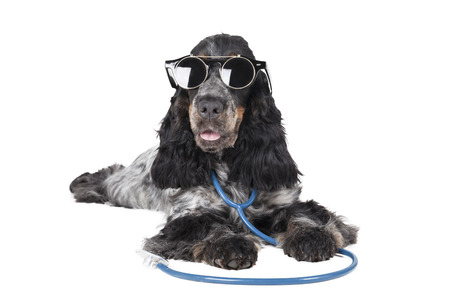 english cocker spaniel: dog with a phonendoscope and glasses on a white background in the Studio Stock Photo