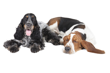 two dogs (Basset hound and English Cocker Spaniel) on a white background