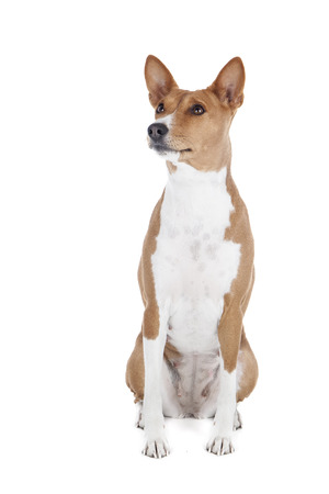 bitch: Basenji dog or African Nela (as well as the Congolese bush dog, wild dog of Congo, Congo-terrier, Nyam-Nyam-terrier dog Zande, being out of the brush)