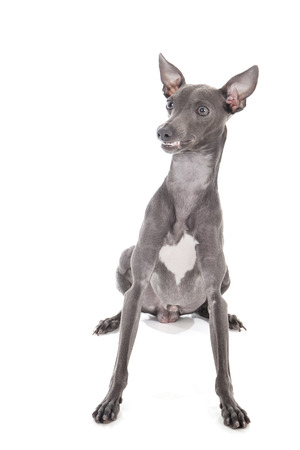 Italian greyhound blue color on a white background in studio photo