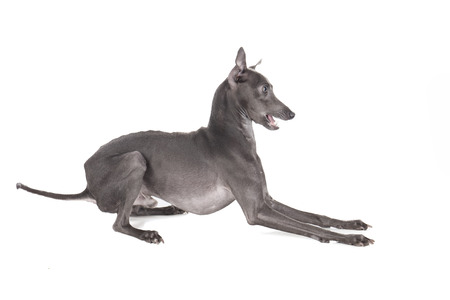 Italian greyhound blue color on a white background in studio Stock Photo - 23319858