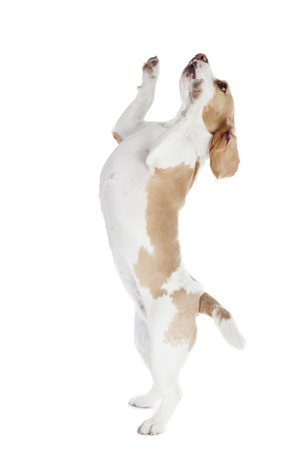 dancing dog beagle on a white background in studio photo