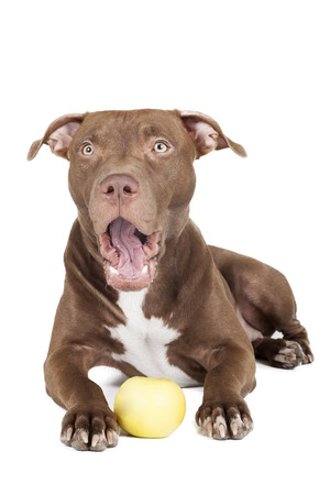 pit: dog breed pit bull with an apple on a white background in studio