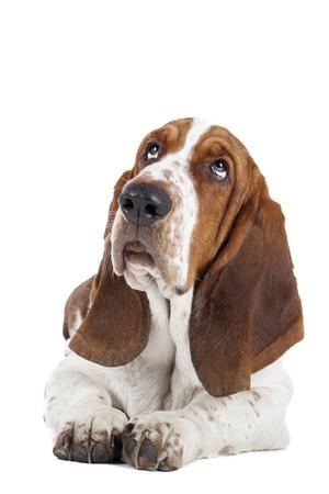 Basset-Hund auf einem weißen Hintergrund liegen Standard-Bild - 23319952