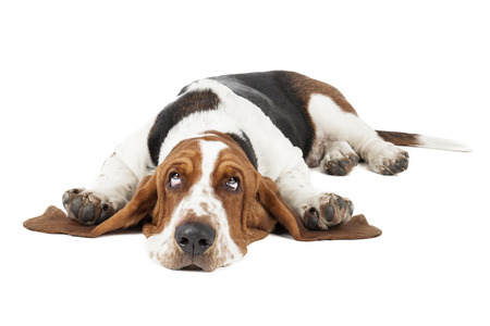白い背景の上に横たわっているバセットハウンド犬