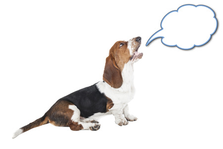 Basset hound speaks on a white background in studio photo