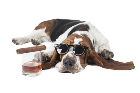 Dog (Basset with a glass of whisky on a white background in the Studio photo