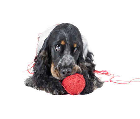 ball of wool: dog (English Cocker спаниэль) with a ball of thread on white background