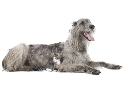 Dog (Irish Wolfhound) with a kitten on a white background in studio