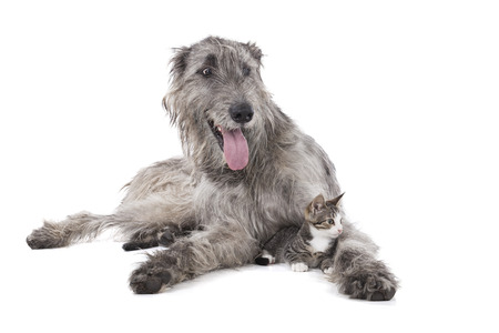 Dog (Irish wolfhound) and the kitten on a white background in the Studio photo