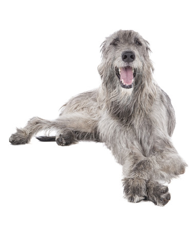 Dog (Irish Wolfhound) on a white background in studio Stock Photo