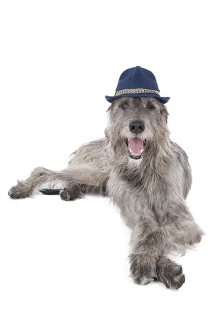 shaggy: Dog (Irish Wolfhound) in the hat on a white background in studio