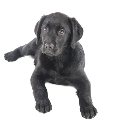 black dog: black lab puppy, two months old - Stock Image Stock Photo