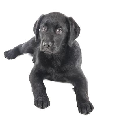 dog nose: nero Cucciolo di laboratorio, a due mesi di et� - Stock Image