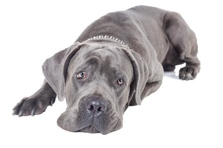 perro corriendo: Caña de la raza del perro de Corso en un fondo blanco en el estudio