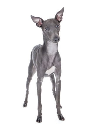 Italian greyhound blue color on a white background in studio Stock Photo