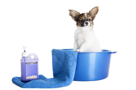 Papillon puppy in a towel on a white background in studio photo
