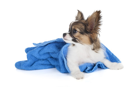 Papillon puppy in a towel on a white background in studio