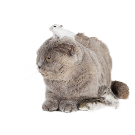 cat and hamster on a white background in studio photo