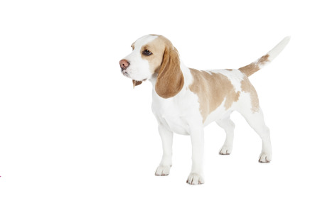 Beagle dog on a white background in studio photo