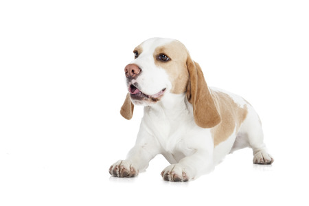 Beagle dog on a white background photo
