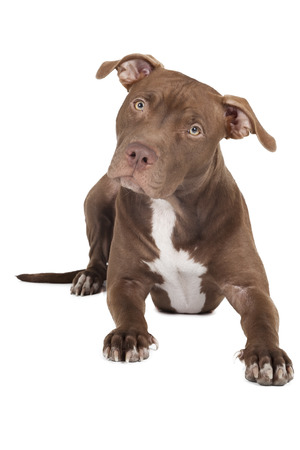 dog breed pit bull on a white background in studio