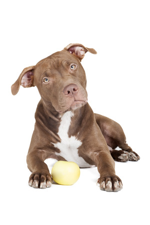 dog breed pit bull with an apple on a white background in studio photo