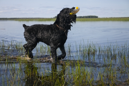 Black Russian Terrier is bathed in the lake photo