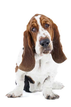 Basset hound on a white background in studio