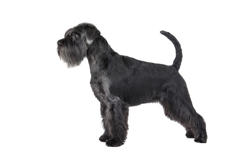 black giant: Schnauzer standing on a white background in studio