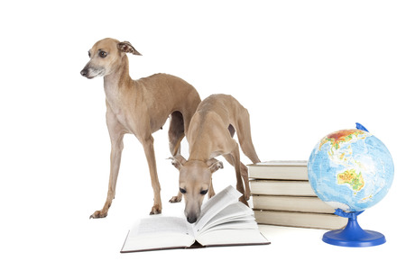 Italian greyhound with books and globe Stock Photo