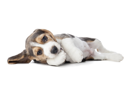 beagle puppy: beagle puppy isolated on a white background in studio Stock Photo