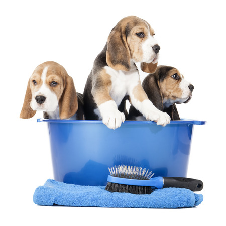 dog grooming: beagle puppies in a basin on a white background in studio