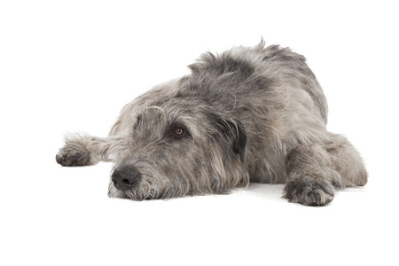 Irish Wolfhound on a white background in studio photo