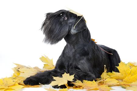 schnauzer: Schnauzer dog breed in the maple leaves